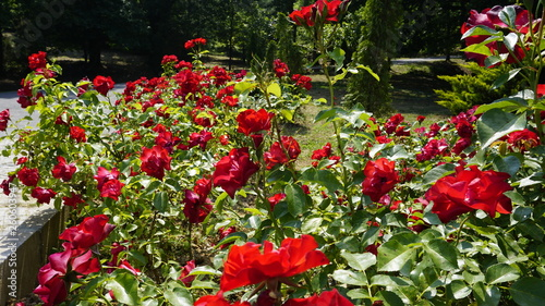 Red roses blooming in garden at warm sunny summer day with green trees and greenery forest landscape. Amazing view of bright vibrant beautiful flower leaf wallpaper concept, colorful background. © Akin Ozcan