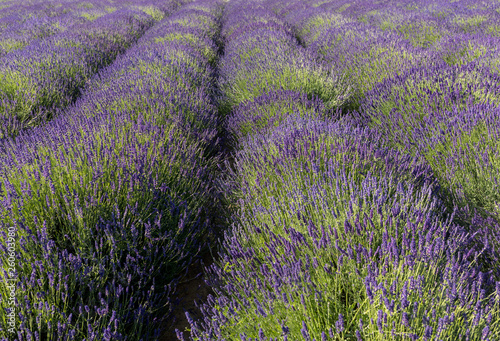 the blooming lavender flowers in Provence, near Sault, France - 260603980