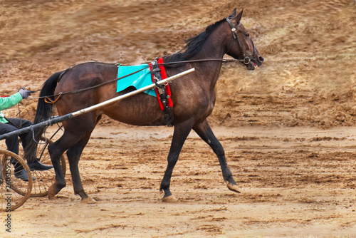 Racehorse in harness. Side view on the background of the track hippodrome. © twinlynx