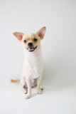chihuahua is a white sugar, seven month old, on a white background.