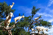 Quadro Argan trees and the goats on the way between Marrakesh and Essaouira in Morocco
