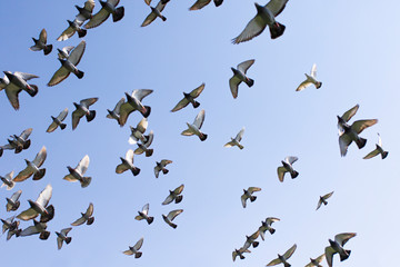flock of speed racing pigeon bird flying against clear blue sky
