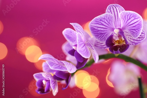 Orchid flower.  purple orchid macro on a purple background with golden bokeh.Floral  background.Orchids flowers phalaenopsis - 260663749