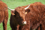 portrait of brown cow grazing the grass in a meadow