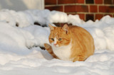 red cat sitting in the snow