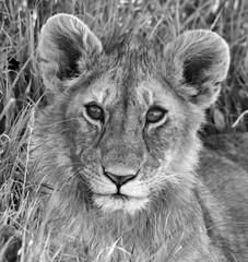 Lion Masai Mara Africa