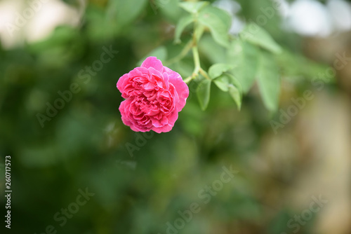 .Beautiful flowers in the garden Blooming in the summer.Landscaped Formal Garden.