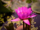 pink waterlily or lotus flower in pond.