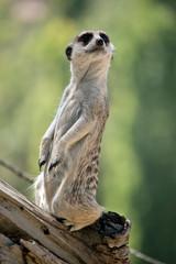 a meerkat is standing guard