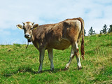 Cows on the pastures of the slopes of Alpstein mountain range - Canton of St. Gallen, Switzerland