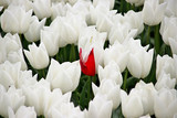 White tulips in rows on  a flowerbulb field in Nieuwe-Tonge in the netherlands during springtime season and fog
