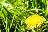 Yellow dandelion against the background of an indistinct green grass.