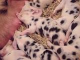 cochon, ferme, cochonnet, cochon,  rose, ensemencer, dalmatien; dormir, allaiter, agriculture, mammifère, bébé, joli, porc, nature, jeune, paille, animal, petit, bébé, bétail, groin, domestique,