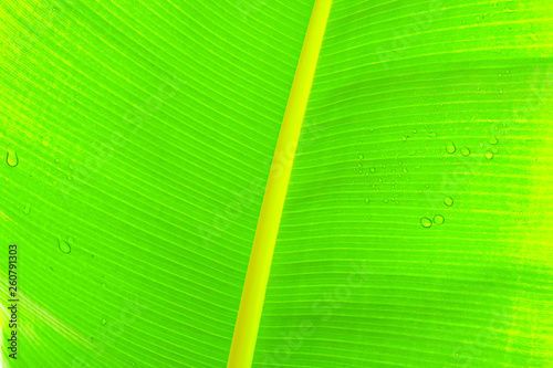 Macro shot of green palm leaf streak structure surface, texture image with selective focus. Exotic palm tree plant leaves. Pollution free nature symbol. Background, copy space, close up. - 260791303