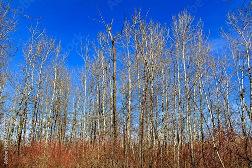 Birch Trees In The Forest - 260791995