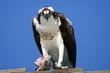 Osprey Lunch Pose