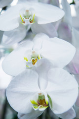 Beautiful orchid flowers in the greenhouse. Сlose up view. White gentle orchid flowers are taken in soft light. Can be used to create a postcard.