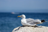 Seagull posing at the seaside in Slovenia