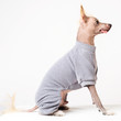 Portrait in profile of a male Chinese Crested Dog on white background
