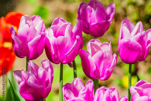 close up of blooming field of purple  tulips, floral background. - 260811372