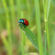 Chrysolina grossa, the red leaf beetle, on grass. Iridescent green and bright red. Close up.