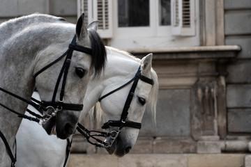 Parade white horses detail