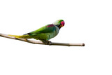 Isolated green parrot and branch. White background. Bird: Rose ringed Parakeet.