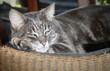 Quadro portrait de chat gris qui se repose