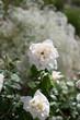 canvas print picture - Weisse Rose mit Schleierkraut