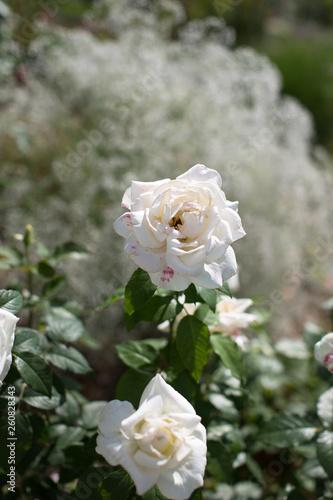 canvas print picture Weisse Rose mit Schleierkraut