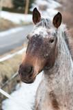 Fototapeta Fototapety z końmi - Portrait de cheval © Charles LIMA