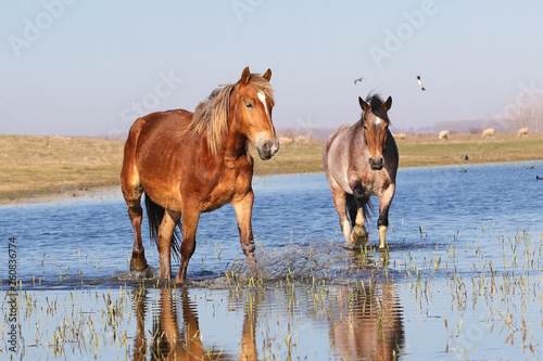 Two wild pony troat through the water on the watering  place