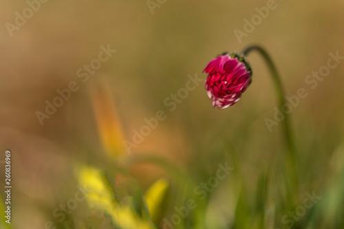 Fleur du Grésivaudan - Isère. © Richard