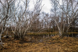 birch groves and marshes. Russian landscape