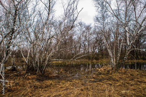 birch groves and marshes. Russian landscape - 260838377