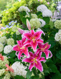 Stargazer lilies blooming in the home garden.