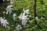 Blooming magnolia stellata