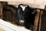 a cow with horns on a farm behind a wooden fence. Bull inside a farm. a cow with horns on a farm behind a wooden fence. Bull inside the farm. Close portrait of a cow head
