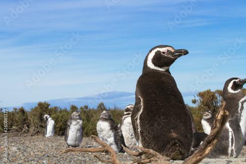 Fototapeten Pinguine Pinguinera Faro Cabo Virgenes.