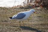 seagull on grass