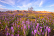 Beautiful wildflower at sunset, Johua Tree National Park, CA