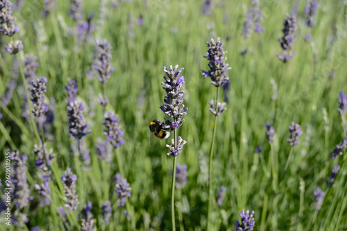 Lavender flowers in closeup - 260908955