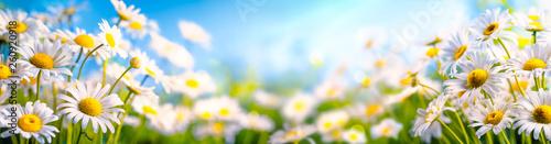 Leinwandbild Motiv Chamomile flower