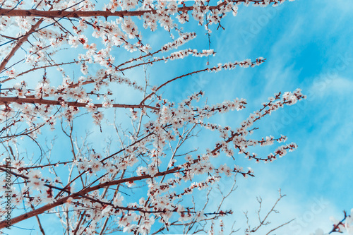 White spring blossom of fruit trees and blue sky. - 260921133