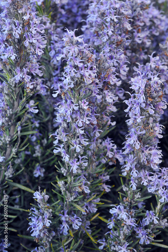 Field of beautiful Rosemary in full bloom. Gardening. Herbes de Provence. - 260924575