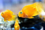 aquarium fish Cichlids parrot yellow. lots of floating yellow parrot fish in the aquarium