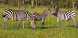 Zebra family on green savanna surrounded by rain forest in national park, Uganda, Africa