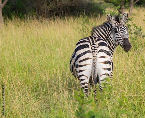 Zebra from behind looking in to camera standing in high grass, Uganda, Africa - 260940732