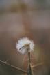 Wisp of dandelion left behind