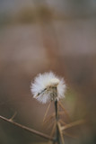 Wisp of dandelion left behind